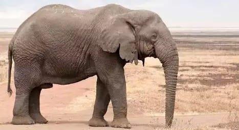 Botwana Elephant hunting auction