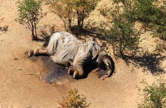 Botswana investigates 'mysterious deaths' of 275 elephants
