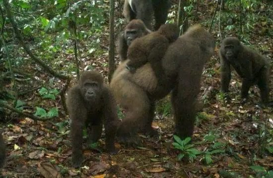 World's rarest species of gorillas spotted in Cross River state