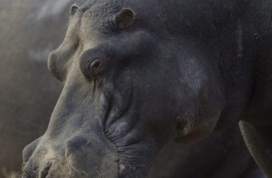 Docks of hippos at risk in Namibia 's dried-up water hole